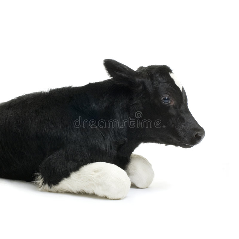 Download Calf stock image. Image of mammal, isolated, baby, beef - 2304565