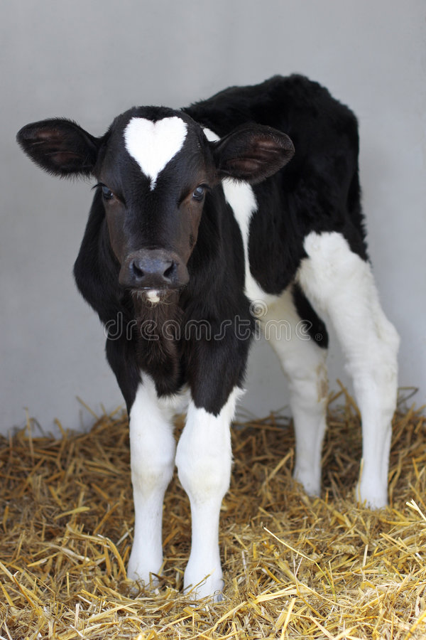 Free Calf Stock Photography - 3501072