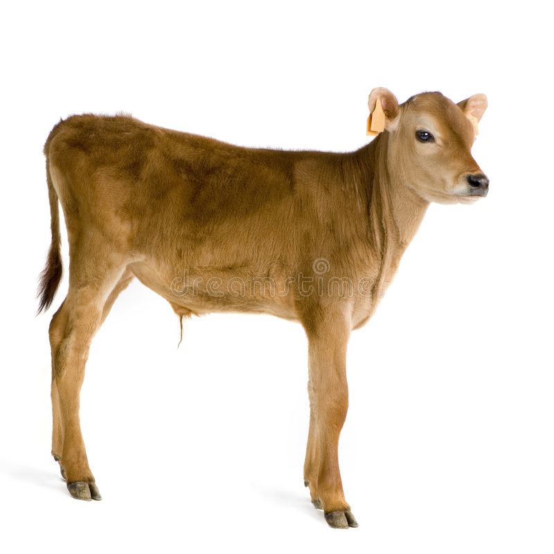 Download Calf (45 days) stock photo. Image of isolated, baby, mammal - 2333216