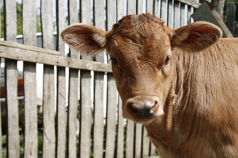Download Calf stock image. Image of ears, shoot, cattle, fence - 5328625