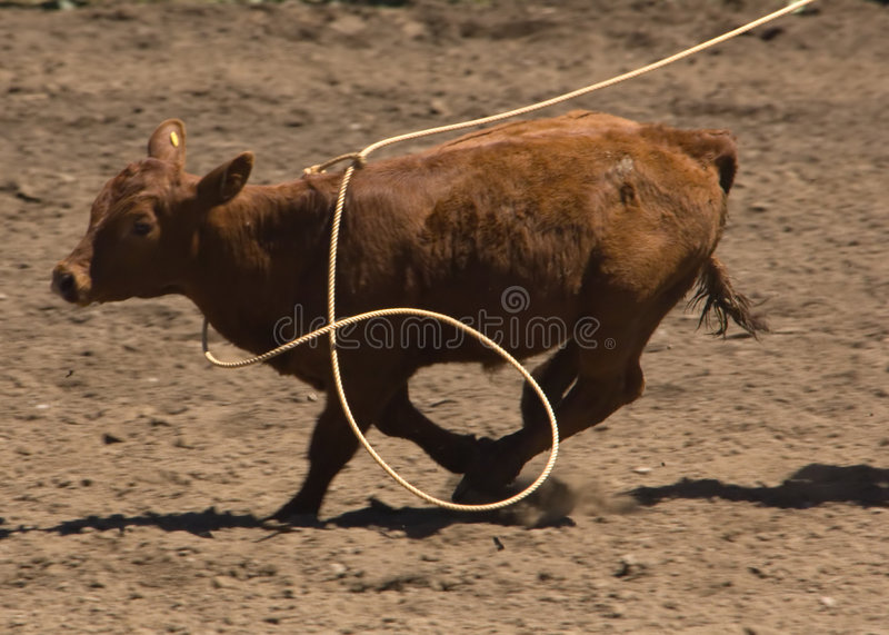 Download Calf being roped stock image. Image of rider, horses, cows - 903997