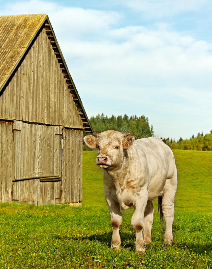 Calf at the byre. White cow calf at the byre royalty free stock photography