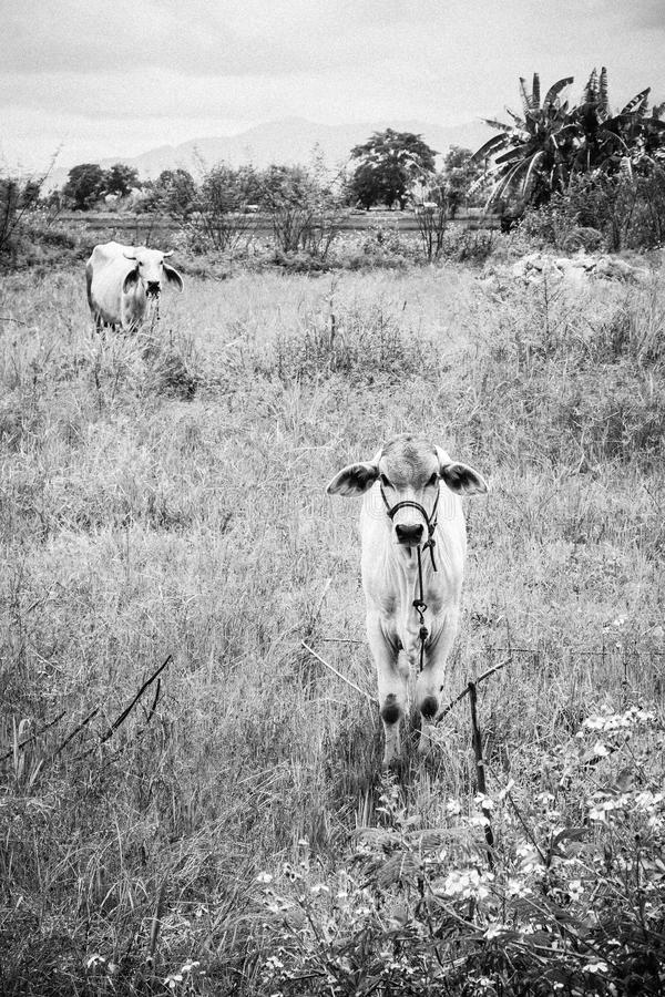 Calf child cow and mother cow Stay alerted. stock photo