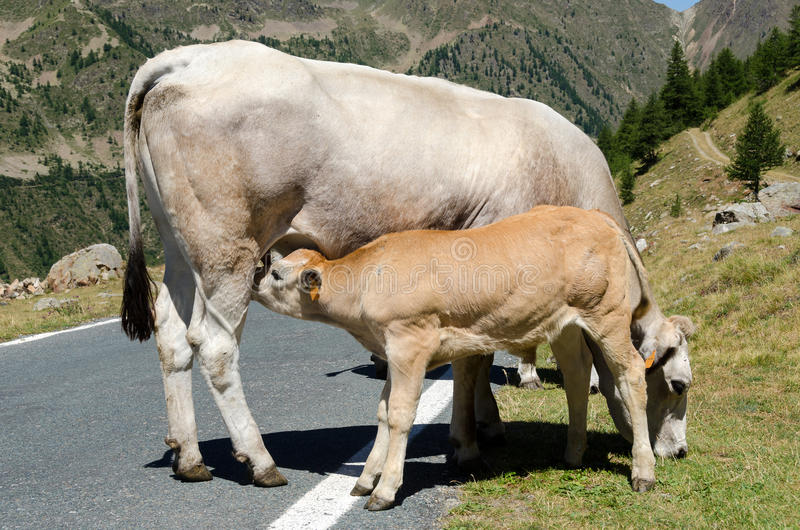 Calf and cow stock images