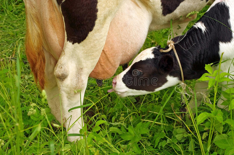 Calf cow feeding royalty free stock images