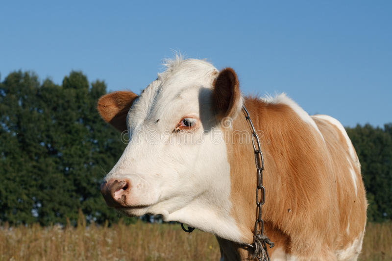 Download Calf cow in profile stock image. Image of rural, feeding - 26634015