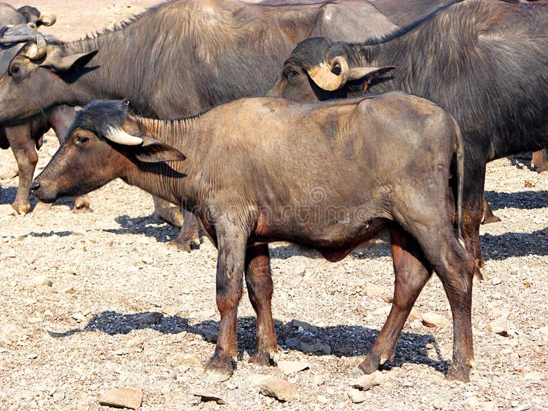 A Calf of a Domestic Asian Water Buffalo. This is a photograph of a calf of a domestic asian water buffalo, also known as bubalus bubalis royalty free stock photography