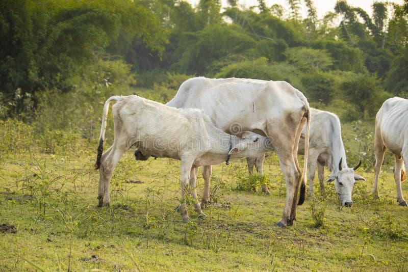 Calf  drinking milk royalty free stock photography