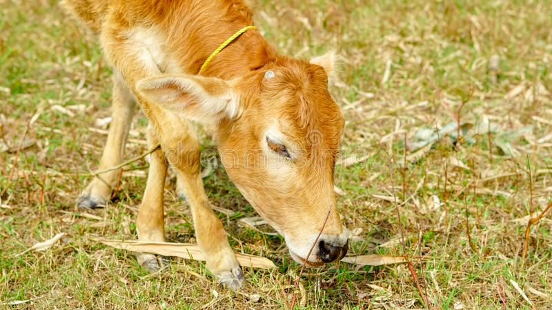 A calf is eating grass on a ground.calf& x27;s head right side. stock photo