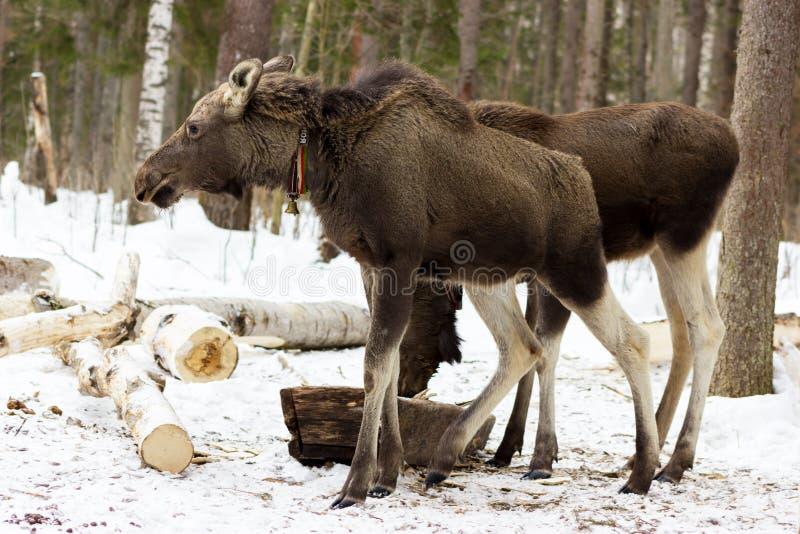 Calf of elk on Sumarokovo`s farm stock images