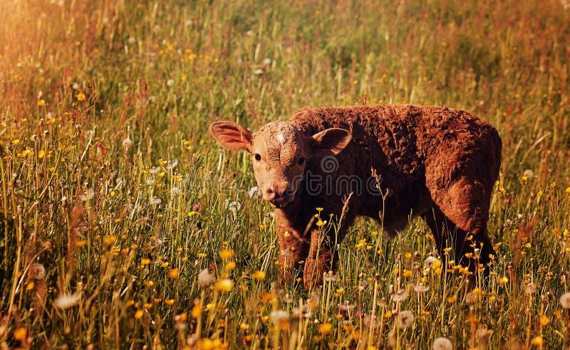 Calf In Field Free Public Domain Cc0 Image