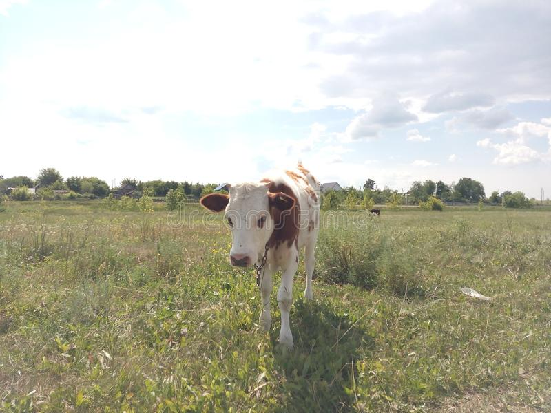 Calf, cow, little, baby, dairy, farm, beautiful, cute, green, nature, grass, alone, animal, brown, white, young, beef, agriculture royalty free stock photos
