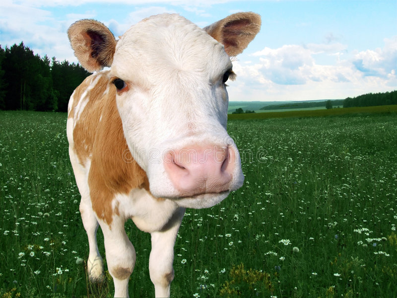 Calf in hayfield1 royalty free stock photo