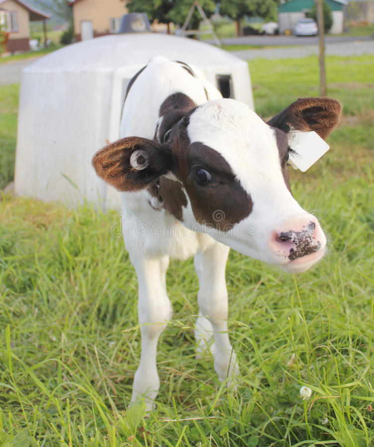 Download A Calf and her Hutch stock photo. Image of animal, protect - 25679918