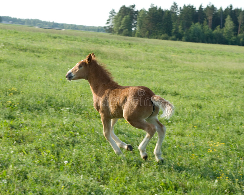 Calf of a horse royalty free stock image