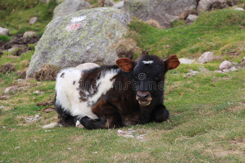 A calf lying on a field stock image