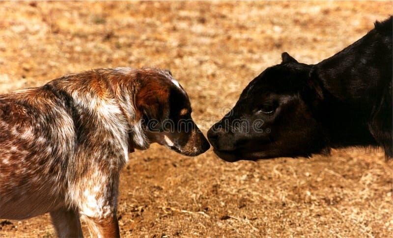 Calf Meets Dog stock photo