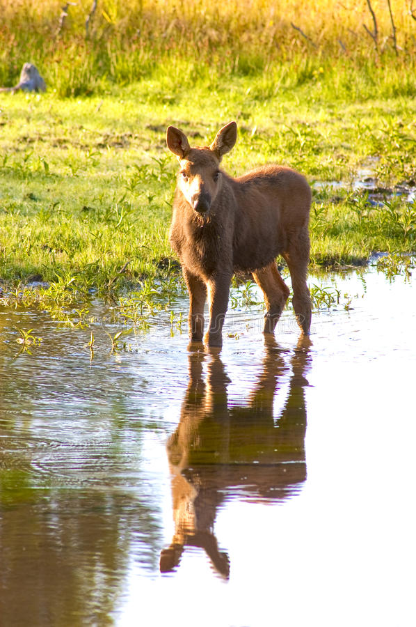Calf moose. Standing in the stream with reflection stock photo