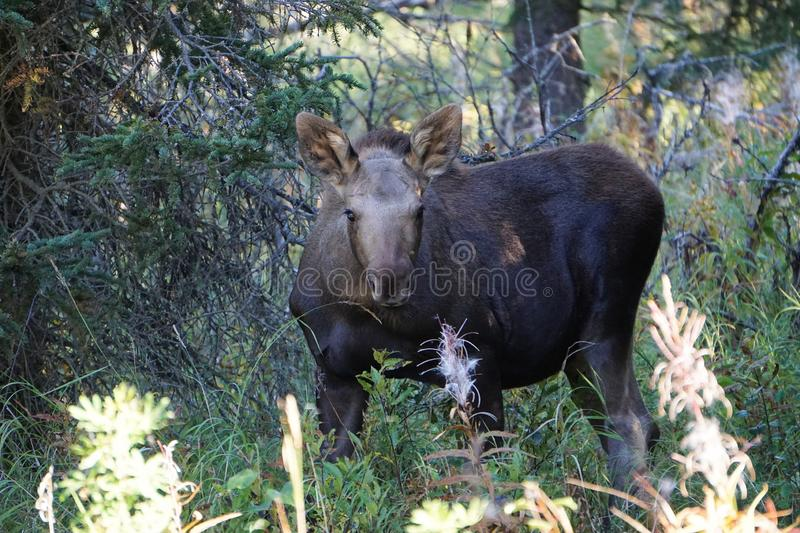 Calf moose in the forest. Calf moose in forest in wild Alaska. Beautiful animal in wilderness stock photography