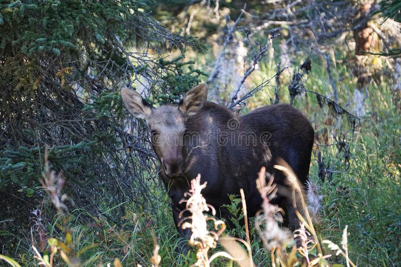 Calf moose in the forest. Calf moose in forest in wild Alaska. Beautiful animal in wilderness royalty free stock image