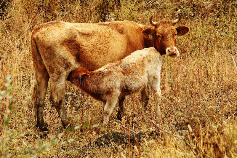 Calf with mother stock images