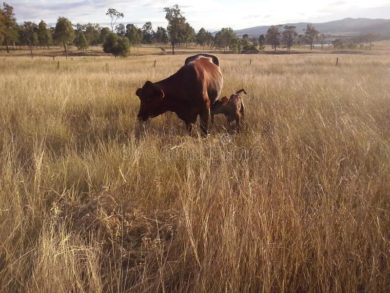 Calf and Mother royalty free stock photo