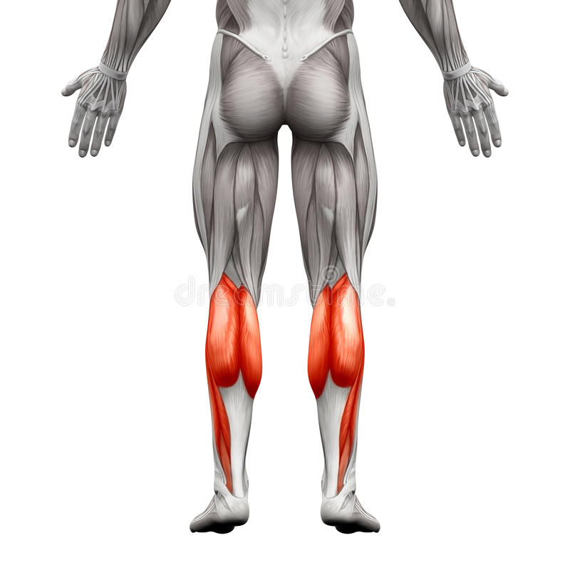 Calf Muscle Male - Gastrocnemius, Plantar Anatomy Muscle - isolated on white - 3D illustration royalty free illustration