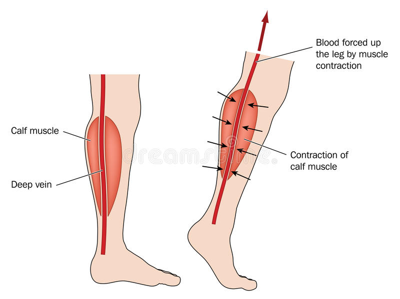 Calf muscle pump. Drawing to show blood forced up from legs due to calf muscle pump. Created in Adobe Illustrator. EPS 10 stock illustration