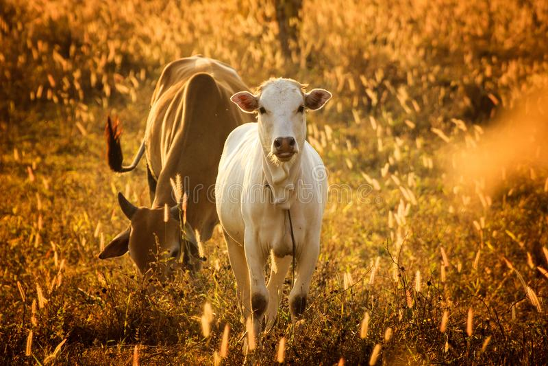 Calf in orange meadow,Tongue.the cow has happy stock image