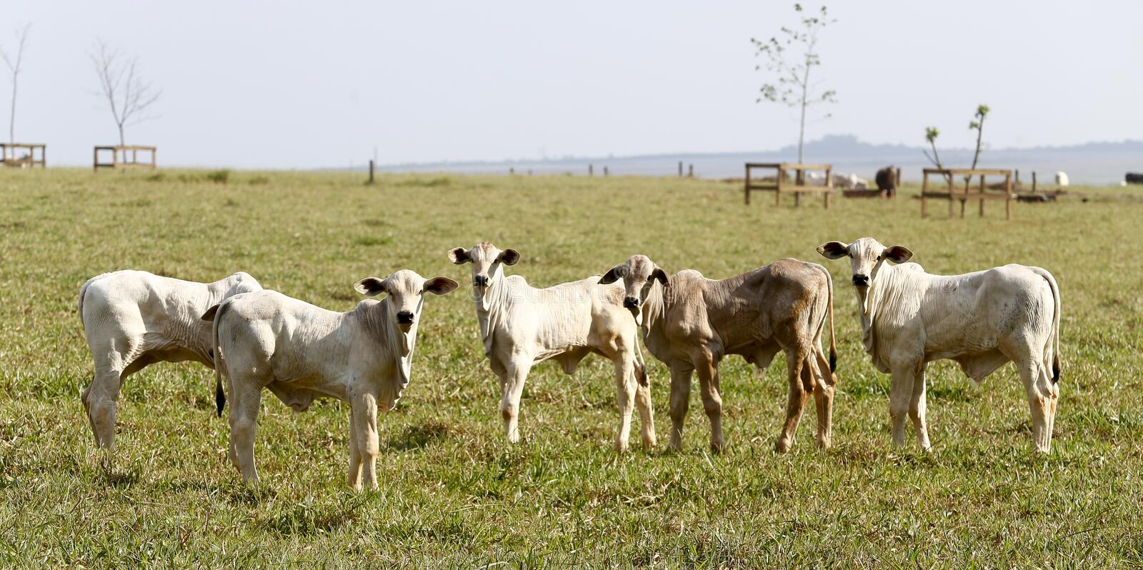 Calf in the pasture stock images