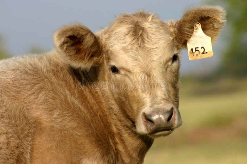 Calf Portrait Royalty Free Stock Images