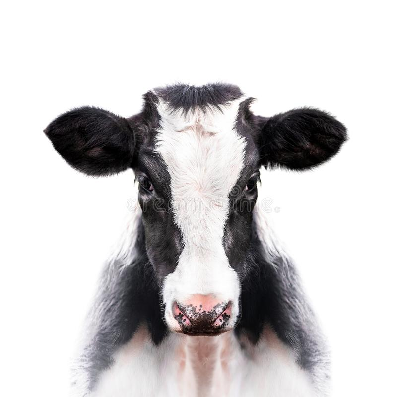 Calf portrait isolated on white background royalty free stock images