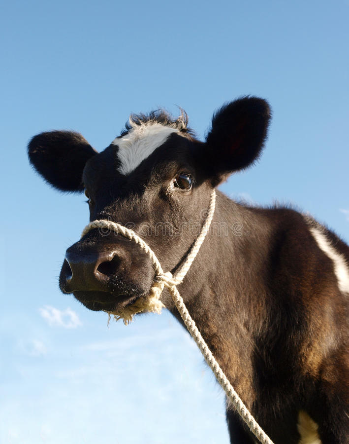 Download Calf With Rope Halter stock image. Image of mammal, bovine - 13954585