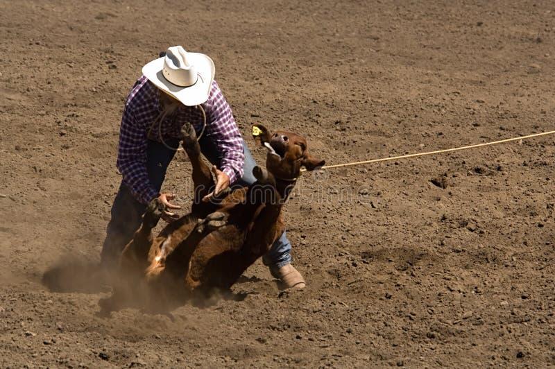 Calf roper makes a tie stock photo
