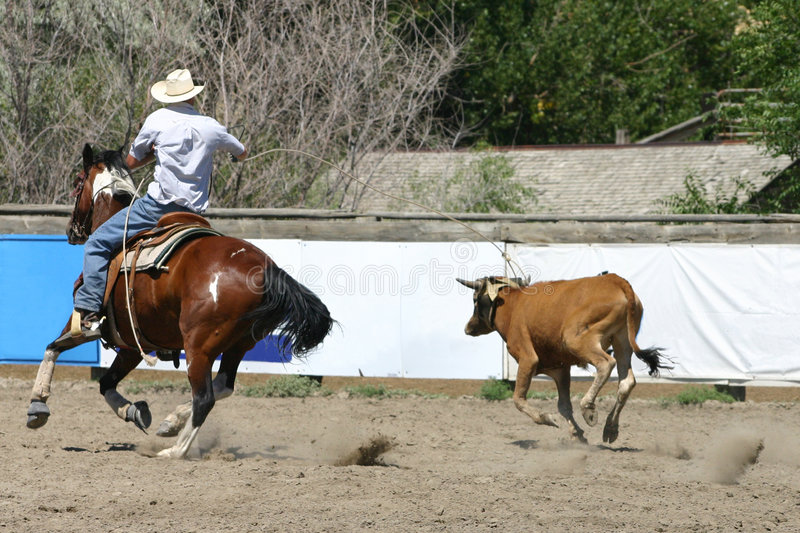 Calf Roping. A cowboy drops the loop over the head of a calf stock images