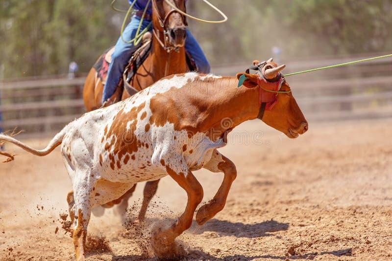Calf Roping Rodeo Event In Australia stock photos