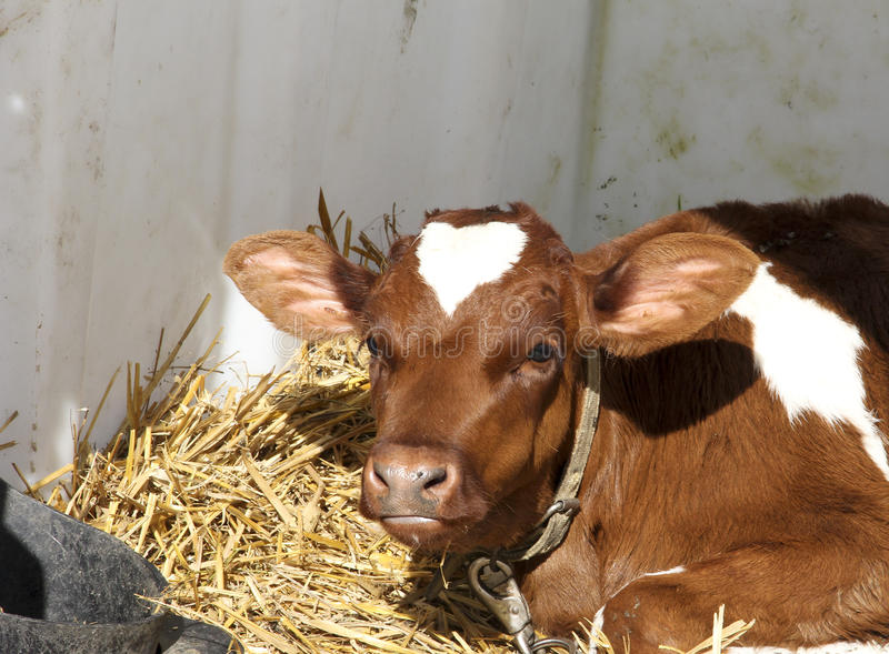 Calf selected for Veal meat royalty free stock photography