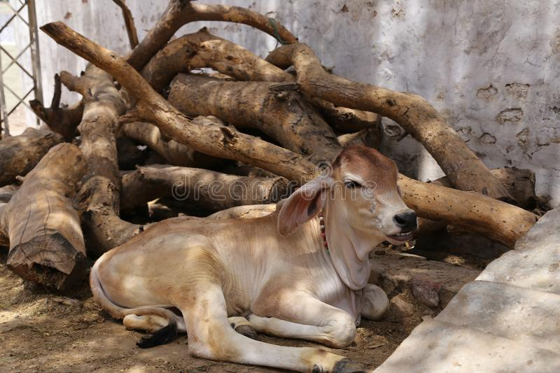 Calf sitting near a pile of roughly cut logs. In a village in Tharparkar, Sindh. Cattle are used here for both milking and draught potential royalty free stock photography