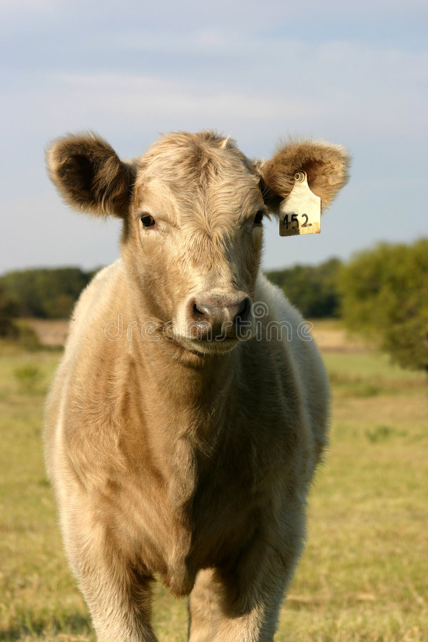 Calf Standing in Pasture royalty free stock photography