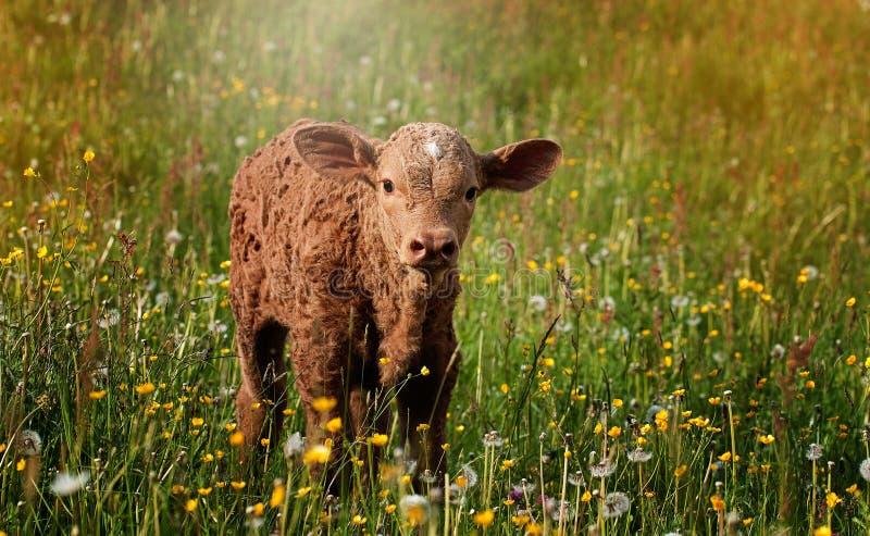 Calf standing in wildflowers stock image