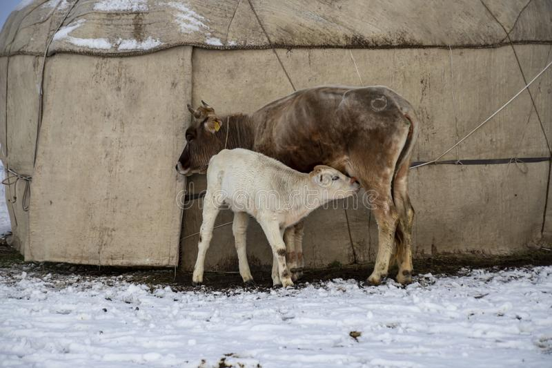 A calf sucks a cow`s udder against the background of a yurt standing in the snow.  royalty free stock images