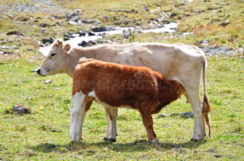 Calf sucks milk from cow. In autumn stock image