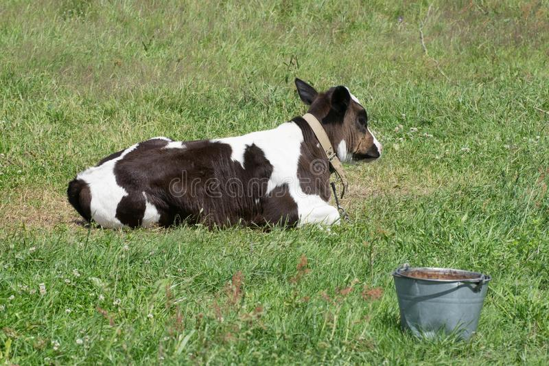 The calf on a summer meadow. stock photography