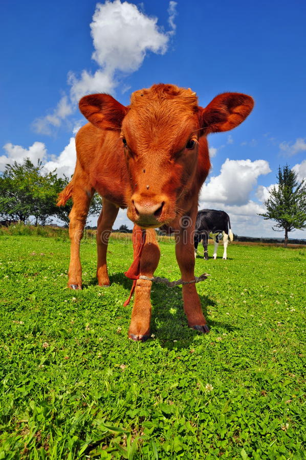 Download The Calf On A Summer Pasture Stock Photo - Image: 20621590