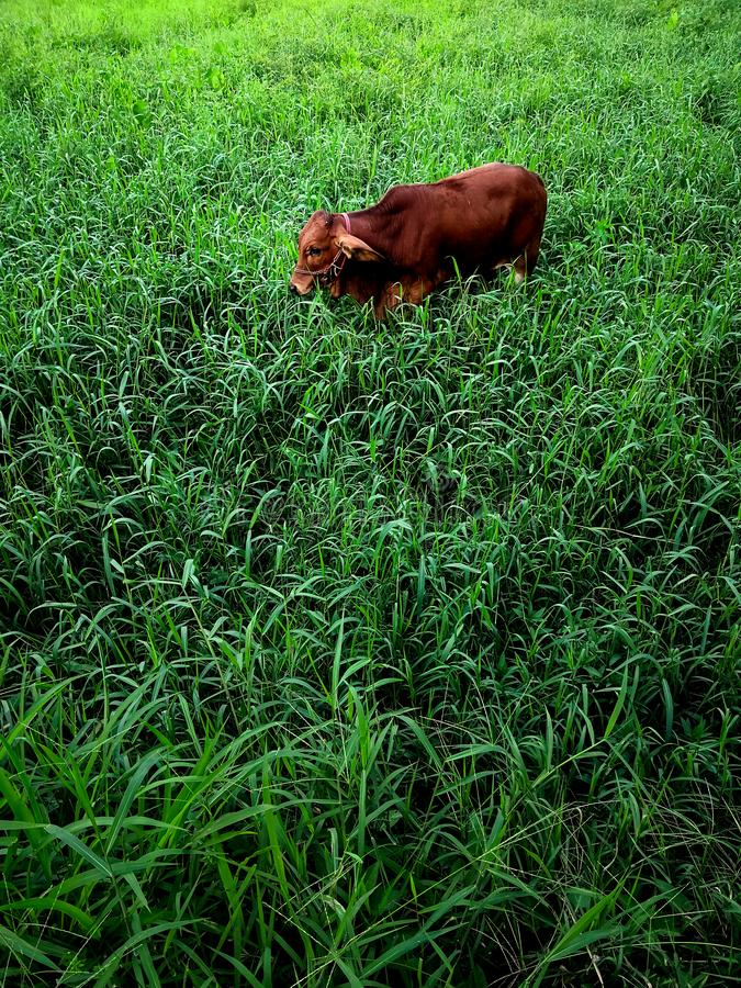 Calf that was left alone stock images