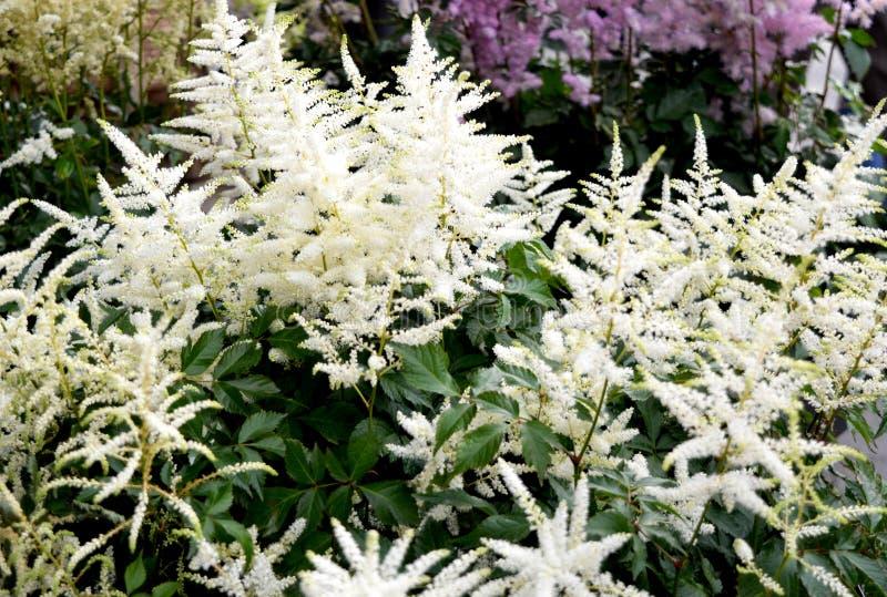 Calflora: Erythroniumcalifornicum royaltyfri foto