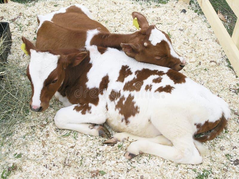 calfs δύο στοκ φωτογραφίες με δικαίωμα ελεύθερης χρήσης