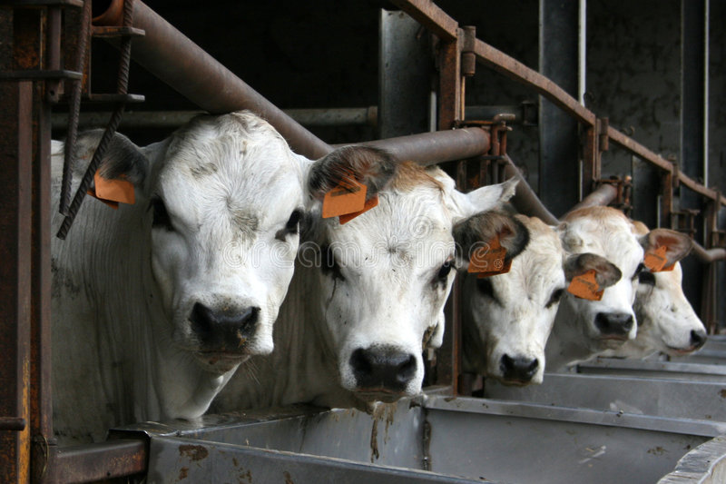 calfs στοκ εικόνες με δικαίωμα ελεύθερης χρήσης