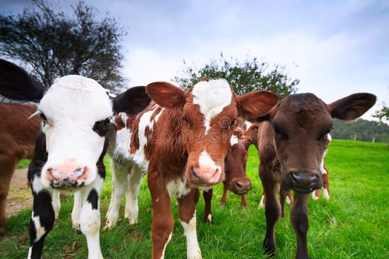 Calfs curiosi della mucca fotografia stock libera da diritti