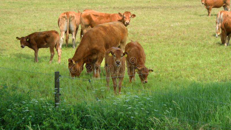 Calfs. Made this picture in the netherlands close to aalten stock photos